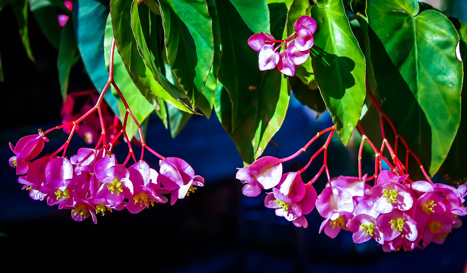 Photograph of pink hanging flowers with a dark blue background