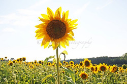 sunflower field #2
