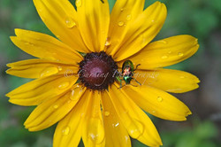 beetle on black eyed susan