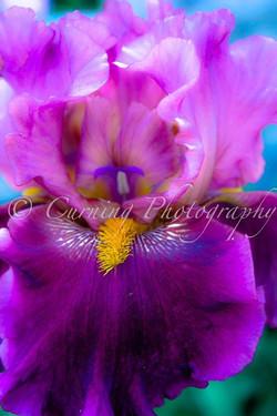 purple and yellow iris #2
