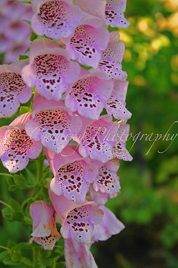 Photograph of pink foxglove flowers with a green background
