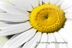 Close up Daisy