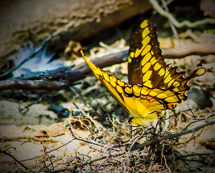 photograph of a yellow and black swallowtail butterfly