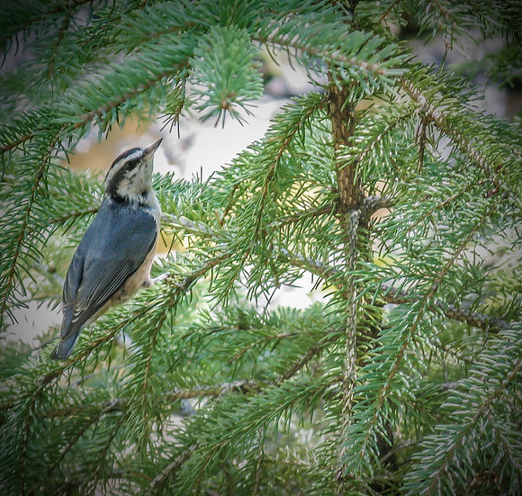 Photograph of a gray nuthatch in a pine tree