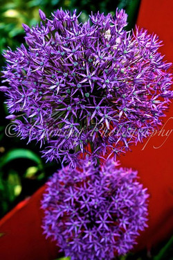 purple flower with red background