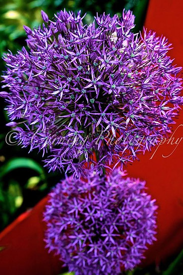 close up Photograph of a purple and green flowers on a red background