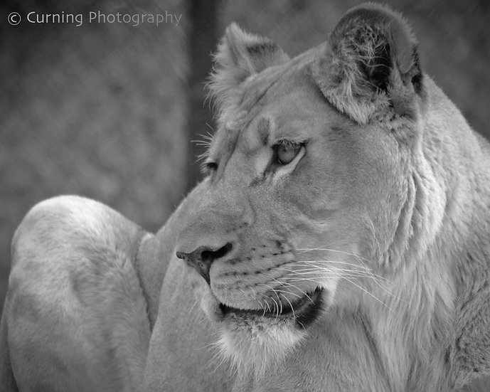 Photograph of a female lion's face and hind leg in black and white