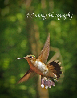 Hummingbird in Flight #2