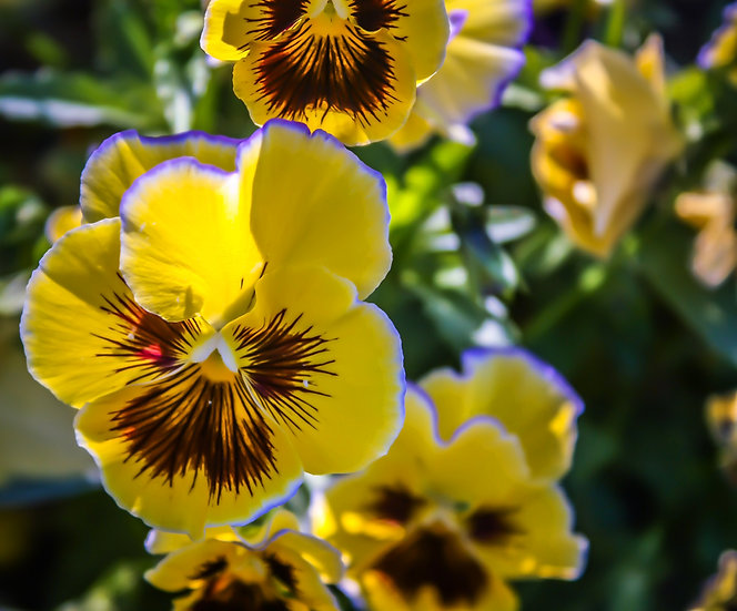 Photograph of yellow, brown, and purple pansies