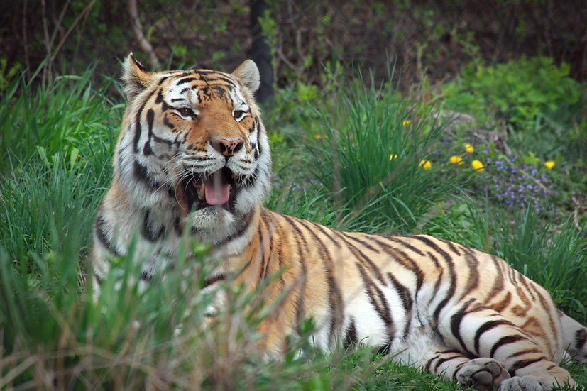 photograph of a tiger laying in tall green grass with his mouth open