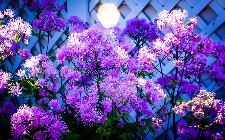 purple flowers by fence