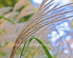 prairie grass close up