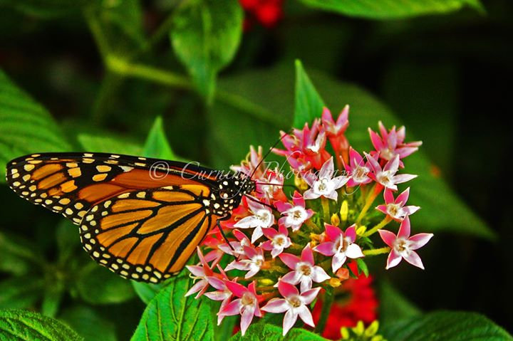 Photograph of a monarch butterfly on a pink and white flower