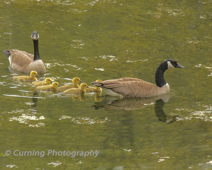 Photograph of geese and baby geese in a pond