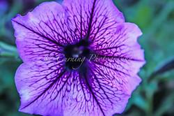 purple flower #4