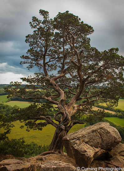 photograph of an old tree on the edge of a cliff overlooking green fields and trees