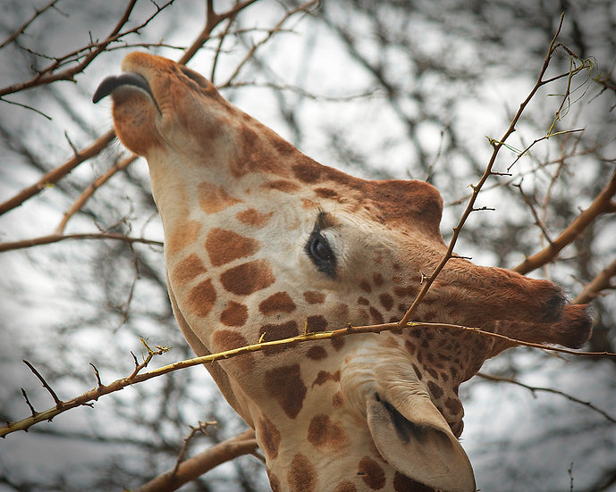 photograph of a giraffe face close up with his tounge out reaching for leaves to eat