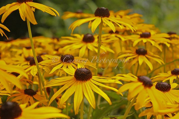 Photograph of a group of black eyed susan's