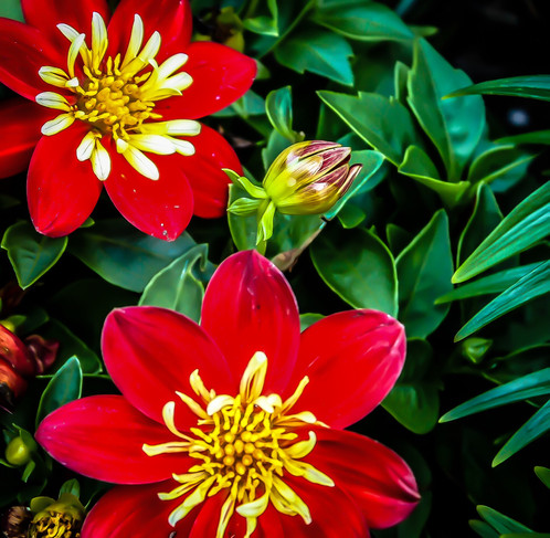 Red flowers photograph of red and yellow flowers mightylinksfo