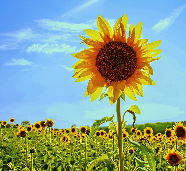 photograph of one tall sunflower in a field of sunflowers