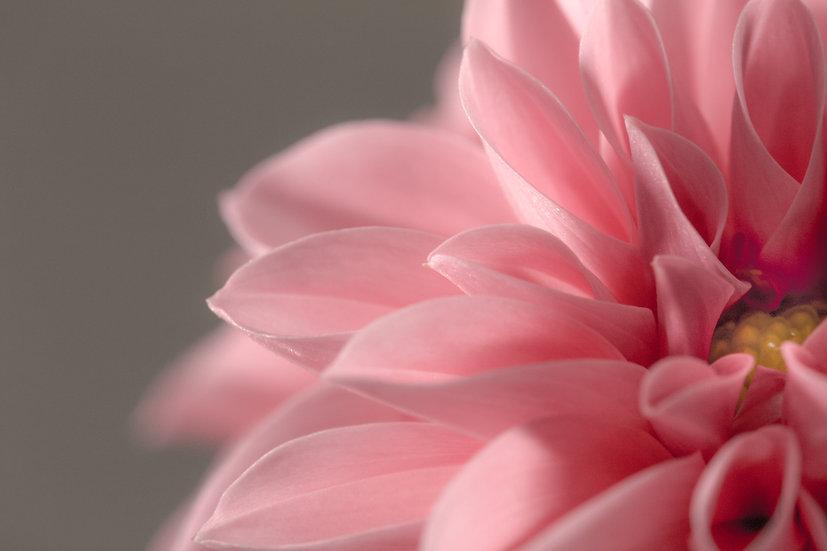 close up photograph of a pink dahlia flower