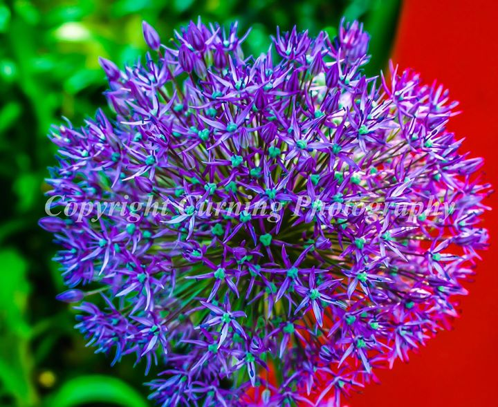 purple flower with red background #2