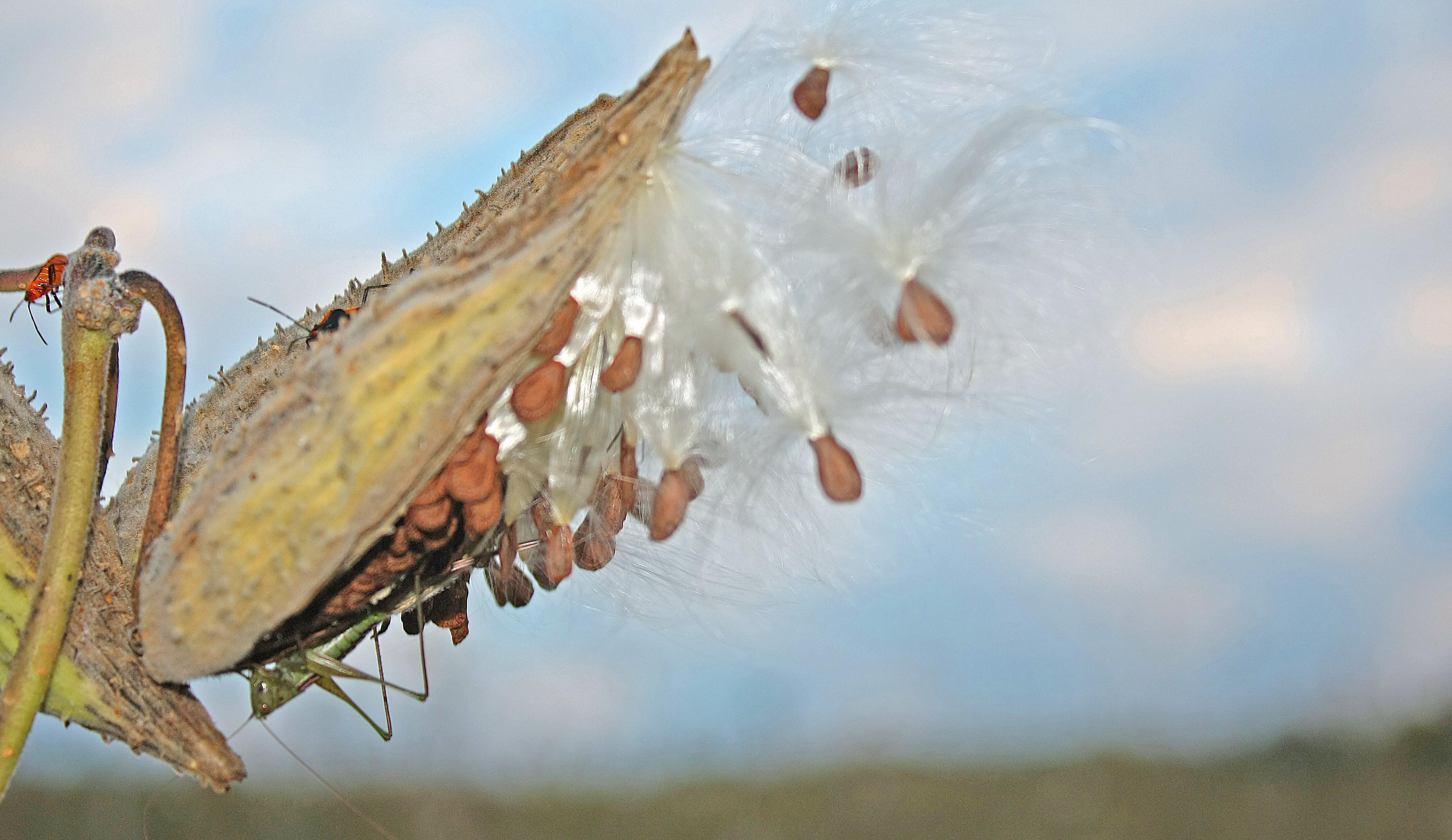milkweed pod close up