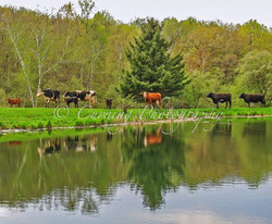 cows by a pond