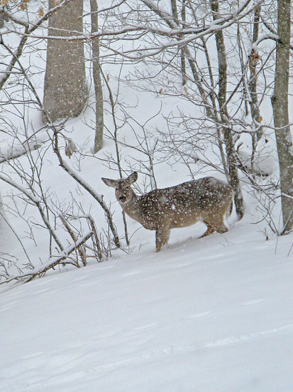 Photograph of a female deer in the woods in deep snow with snow falling