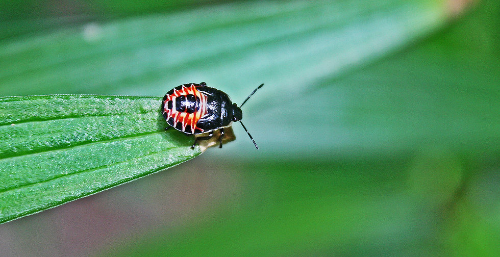 close up photograph of a red and black beetle on a leaf