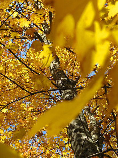 Photograph of yellow fall leaves on a maple tree taken at an upward angle