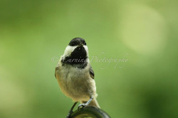 chickadee close up