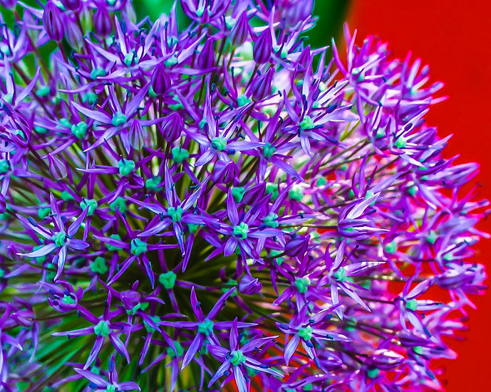 close up Photograph of a purple and green flower with a red background
