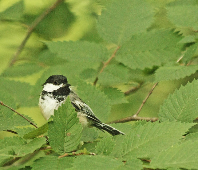 Photograph of a chickadee in a green leafy tree