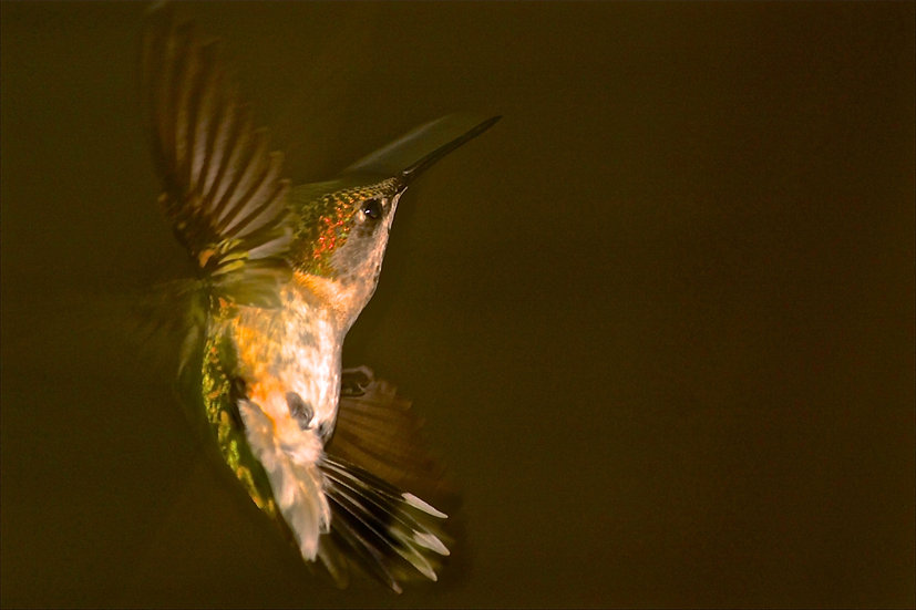 Photograph of a hummingbird in flight close up on a smooth brown background