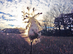 milkweed at sunset