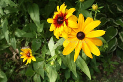 black eyed susans #4