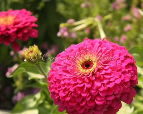 Pink and yellow flowers nature photography united states photograph of a hot pink colored flower mightylinksfo Image collections