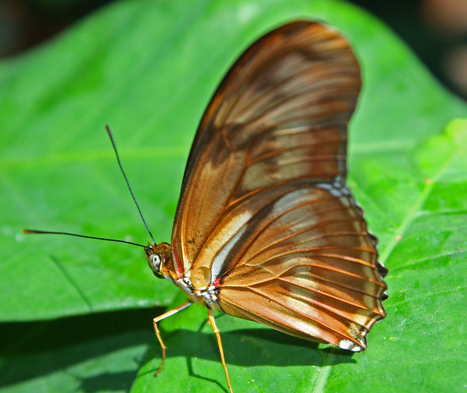 Photograph of a tan butterfly close up on a green leaf