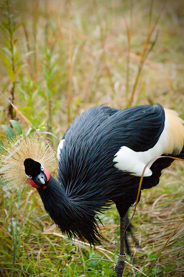 photograph of an African crane