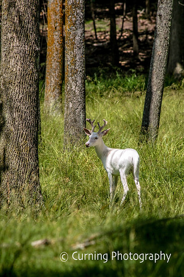 photograph of an albino buck in a grassy clearing of the woods