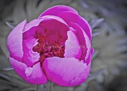 pink flower black & white leaves