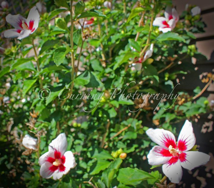 bush of red and white flowers