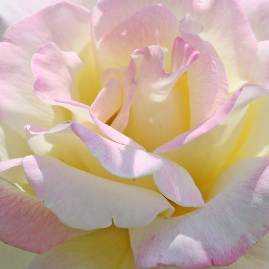 Photograph of a pink and yellow rose close up