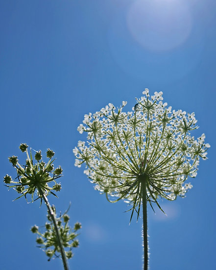 Photograph of a queen ann's lace plant from underneath with a blue sky in the background