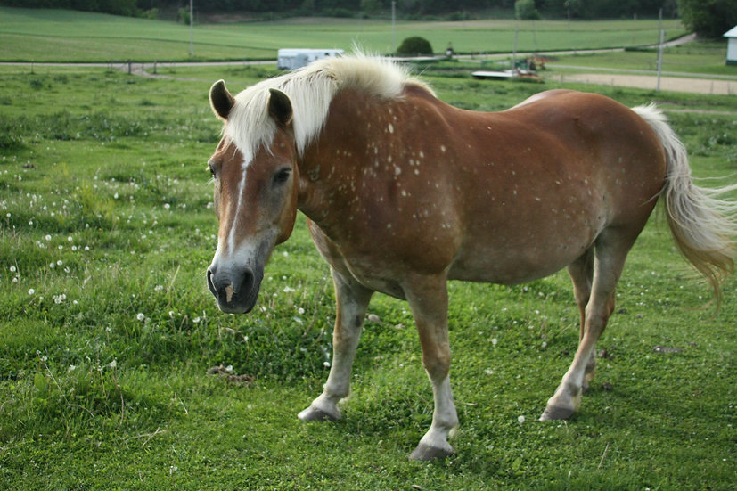 Photograph of a brown horse with white spots in a field