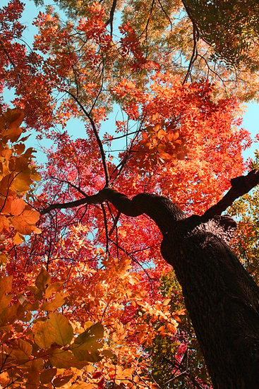 photograph of a fall tree looking up the trunk towards red, orange, and yellow leaves