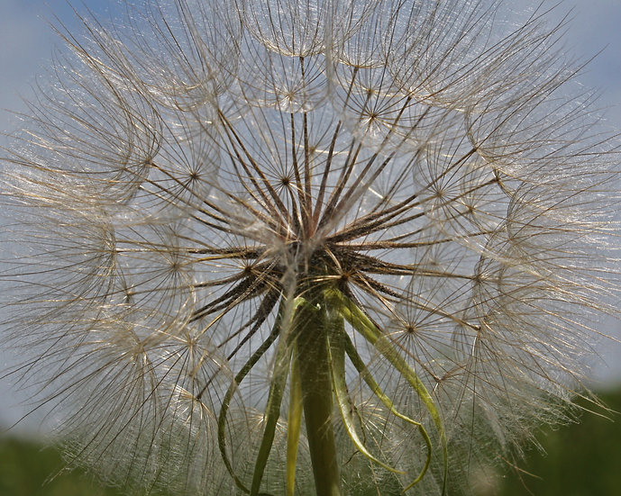 close up photograph of the seeds of a dandelion
