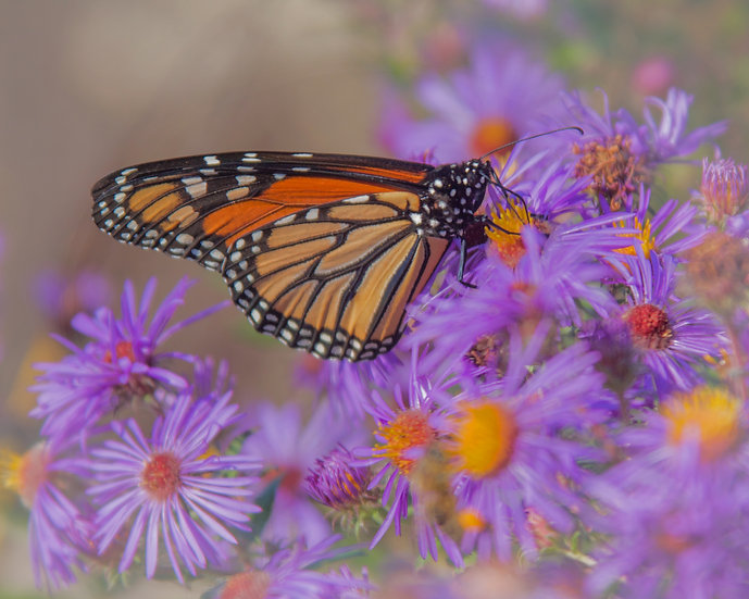 photograph of a monarch butterfly on purple flowers