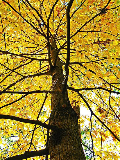 Photograph of a maple tree in fall with bright yellow leaves from the trunk looking up